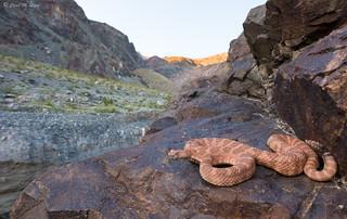 Panamint Rattlesnake (Crotalus stephensi)