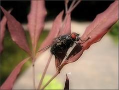 (Tölgyesi Kata) Tags: nandinadomestica japánszentfa égibambusz mennyeibambusz heavenlybamboo sacredbamboo füvészkert botanikuskert botanicalgarden withcanonpowershota620 budapest fly légy tavasz