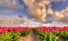 Tranquil tulips under a Dutch sky. (Alex-de-Haas) Tags: oogvoornoordholland 1635mm d750 dutch europe hdr holland nederland nederlands nikkor nikon noordholland thenetherlands bloei bloem bloemen bloemenbijeenkomst bloemenveld clouds flower flowerfields flowerbed flowers landscape landschap lucht nature natuur plant skies sky tulip tulipfields tulipa tulips tulp tulpen tulpenvelden wolken