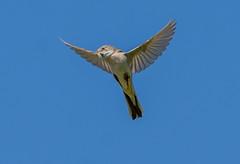 JWL7666  Whitethroat.. (jefflack Wildlife&Nature) Tags: whitethroat warbler warblers birds avian animal summermigrant wildlife wildbirds wetlands songbirds heathland hedgerows moorland countryside nature