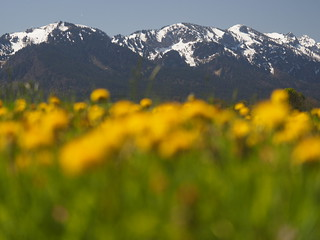 © Frühling Natur Feld Wiese Blume Löwenzahn Bayern Oberbayern – Spring Nature Field Meadow Upper Bavaria Dandelion