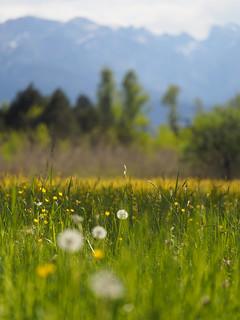 © Frühling Natur Feld Wiese Blume Bayern Oberbayern – Spring Nature Field Meadow Upper Bavaria Wild Flower
