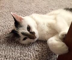 Angel-Cake's tiny paws (f l a m i n g o) Tags: paws cute pet animal cat angel 23936 explore
