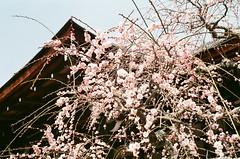 梅花 (流水9oo) Tags: 梅花 底片 olympus 35sp film filmcamera フィルム フィルム写真 梅