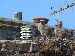Double Trouble (daisyglade) Tags: nest seagulls chicks roof chimney june beautifulcornwall