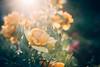 Yellow Submarine Roses (gabe.mirasol) Tags: nikon d600 24120 24120mm kit lens rose roses flowers sunset bokeh dof shallow ektar vsco