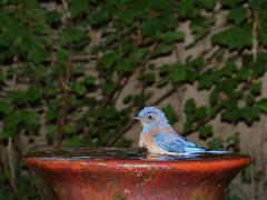 Wet.WesternBluebird_7348a (JKehoe_Photos) Tags: westernbluebird sialiamexicana bird birdbath fountain outdoors garden santaclaracounty johnjkehoephotography