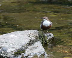Dipper at Watersmeet, Devon. (redhead126) Tags: devon watersmeet dipper