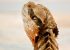 my garden body guard (3 of 4) (Daniela Parra F.) Tags: waterdragon lizardo lizards reptiles