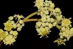 Alphitonia excelsa (andreas lambrianides) Tags: alphitoniaexcelsa rhamnaceae alphitoniaexcelsavarexcelsa leatherjacket cooperswood mountainash soaptree sarsaparilla redalmond redash redtweedie australianflora australiannativeplant australianrainforests australianrainforestplants arfp qrfp nswrfp subtropicalarf dryarf littoralarf vinethicketarf australianrainforestflowers australiannativeflowers wildflowers greenarfflowers