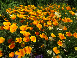 California poppies in the kitchen garden at RHS Harlow Carr