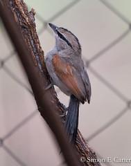 Three-streaked Tchagra (Simon E Carter) Tags: baringo kenya birds