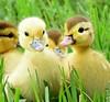 Siblings (dina j) Tags: floridawildlife florida wildlife duck babyduck babyanimal animal muscovyduck babymuscovyduck tampabay yellowbabyduck