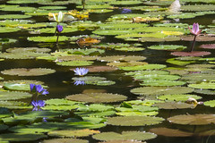 Lily pond view (Tim Brown's Pictures) Tags: nationalparkservice kenilworthaquaticgarden aquaticplants washingtondc lillypads waterlillies waterlily blossom flower