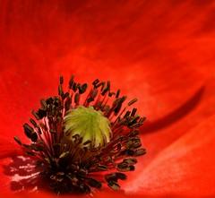 poppy planet (andrea.zanaboni) Tags: poppy papavero rosso red nikon macro flower fiore colori colors macrodreams