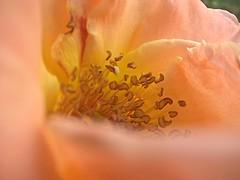flower#1 fotor_(108) (fabiosos) Tags: macedoniagreece makedonia timeless macedonian macédoine mazedonien μακεδονια