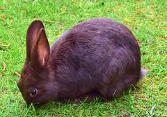Kanin (karinwigroth) Tags: rabbit kanin brun tam