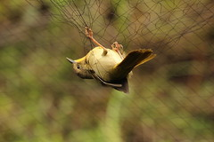 Bird Banding 2017 (Audubon Community Nature Center) Tags: bird banding band mist net