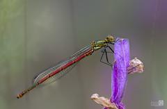 Caballo Rojo (JoseQ.) Tags: caballitodeldiablo libelula macro macrofotografia insecto bicho campo naturaleza airelibre guadalix
