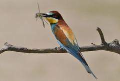 Bee-eater (MoGoutz) Tags: winner european beeeater merops apiaster strymonas river