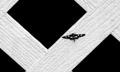 Moth (tisatruett) Tags: blackwhite moth insect bug lattice porch blackandwhite abstract nature wildlife frontporch
