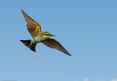 Rainbow bee-eater (Mykel46) Tags: morgan southaustralia australia au rainbows bee eater flying flight bif birds nature natur canon green blue red orange yellow sky outside outdoors air bright