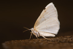 White-pinion spotted moth (Lomographa bimaculata) underside (Ian Redding) Tags: british european geometridae lepidoptera lomographabimaculata uk whitepinionspotted fauna geometer insect moth nature underside white wildlife