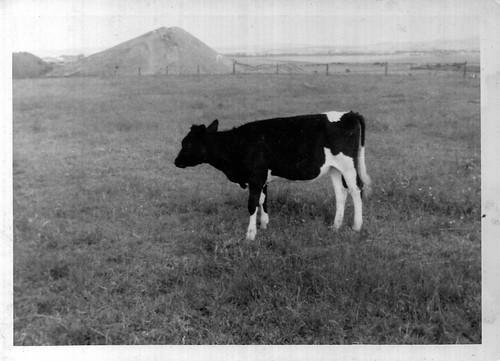 Judy the Calf 1960s
