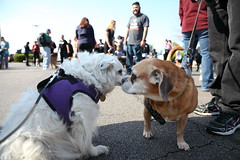 IMG_6126: Nose To Nose (i_am_lee_sam) Tags: 2017 care strut for strays charity dog walk roxy cute little fluffy white american eskimo mix