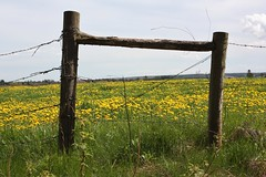 South Granville, PEI (Craigford) Tags: southgranville pei canada dandelions barbedwire fence field
