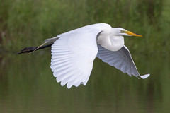 Great Egret 5-27-2017-136 (Scott Alan McClurg) Tags: aalba ardea ardeidae flickr animal back backyard bird bluesky flap flapping flight fly flying greategret land landing life nature naturephotography neighborhood portrait spring suburban urban white wild wildlife