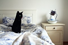 bird watching (Ralaphotography) Tags: cat morning bird watching bedroom bed interior breakfast light spring white black kitten home indoor