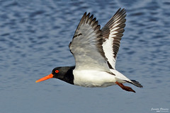 Ostraceiro - Oystercatcher - Haematopus ostralegus (Yako36) Tags: iceland ave bird birdwatching natureza nature tc14e nikonafs300f4 nikond7000 shot