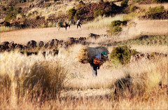 Early Morning in the Fields (kate willmer) Tags: farmer hay grass dawn light donkey man field amantani peru