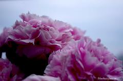Peonies on our Wood Deck (bluehazyjunem) Tags: peony pink pentaxk50 pentax50 wooddeck