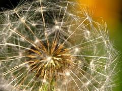 Dandelion (thatSandygirl) Tags: dandelion flower sun light seeds macro texture detail weed ohio fluff white bokeh
