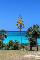 Eleuthera: Agave in Flower (Ali Bentley) Tags: agave flower centuryplant eleuthera eleutheraisland thebahamas bahamas island caribbean canon