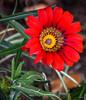 A Bright Ray of Sunshine (Jocey K) Tags: gazania southisland newzealand nikond750 christchurch monavale flower