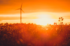 Intense (jarnasen) Tags: fujifilmxt1 xt1 fuji fujinon xc50230mmf4567 telezoom freehand handheld field rapeseed fält windmill raps sunset dawn sweden sverige sun scandinavia nordiclandscape nature östergötland outdoor östgötaslätten backlight colourful golden orange intense copyright järnåsen jarnasen geo geotag gallery perspective pov dof landscape landskap summer warm light shadows exposure flare effects