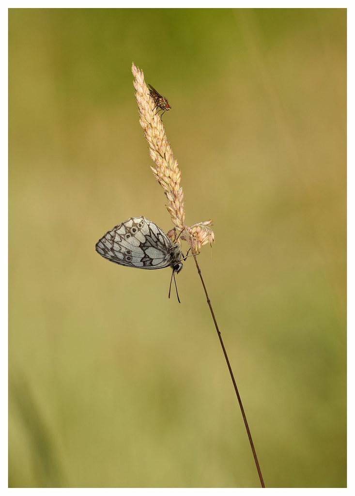 """04bf2a4e4 La vie des champs -The life of the fields (isabelle.bienfait) Tags. Papillon  """" ..."""