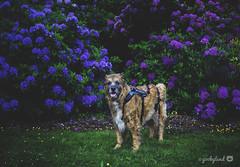 23/52 - burst of blue and purple (yookyland) Tags: 52weeksfordogs misty 2017 2352 dog blue purple rhododendron flowers