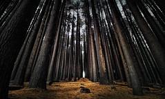 Shadows And Tall Trees (EmeraldImaging) Tags: batlow laurelhill thesugarpinewalk tumut trees pines leaves nsw sydney sunrise woods forest australia bush plantation