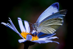 Butterfly (!ProPixel!) Tags: macro monday mm makro sony a7mll soligor 90mm f25 bokina tokina vivitar series wow nature natur schmetterling falter kamille blume
