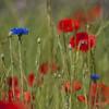 Du hasard et de la nature *---- --° (Titole) Tags: poppies poppy cornflower grass wildflowers titole nicolefaton squareformat challengeyouwinner cyunanimous