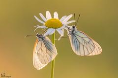 Black Veined White (Deknatel Photography) Tags: butterflies butterfly black beautiful veined white insects insect flower flowers sun sunlight backlight natute bokeh