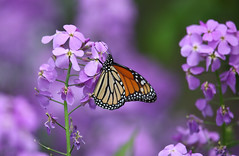 Monarch Butterfly (ashockenberry) Tags: monarch butterfly nature naturephotography winged orange beautiful perched flight pollinator