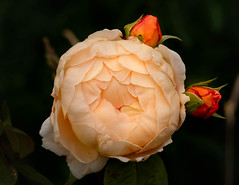 Rose & Buds (vern Ri) Tags: rose fleur flora fiori bloom blumen fuji centralpark xt20 cream buds rosebuds city park