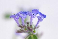 The Four Sisters (Chizuka2010) Tags: purple mauve violet flowers macrophotography highkey bokeh hbw thefoursisters four quatre