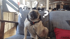 New trending GIF on Giphy (I AM THE VIDEOGRAPHER) Tags: ifttt giphy what huh pug funny gif question mark