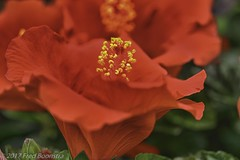 """In the garden,  """"Hibiscus sinensis"""" (A.J. Boonstra) Tags: hdrefexpro2 hibiscussinensis hibiscus ef100mmf28lmacroisusm canon70d canoneos canon garden plant flowers flower eefde"""